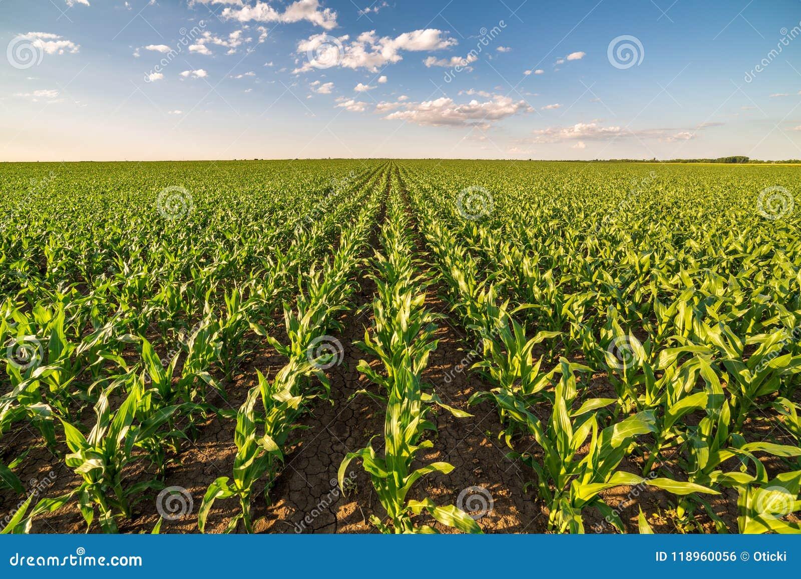 Giacimento del mais del cereale verde nella fase iniziale