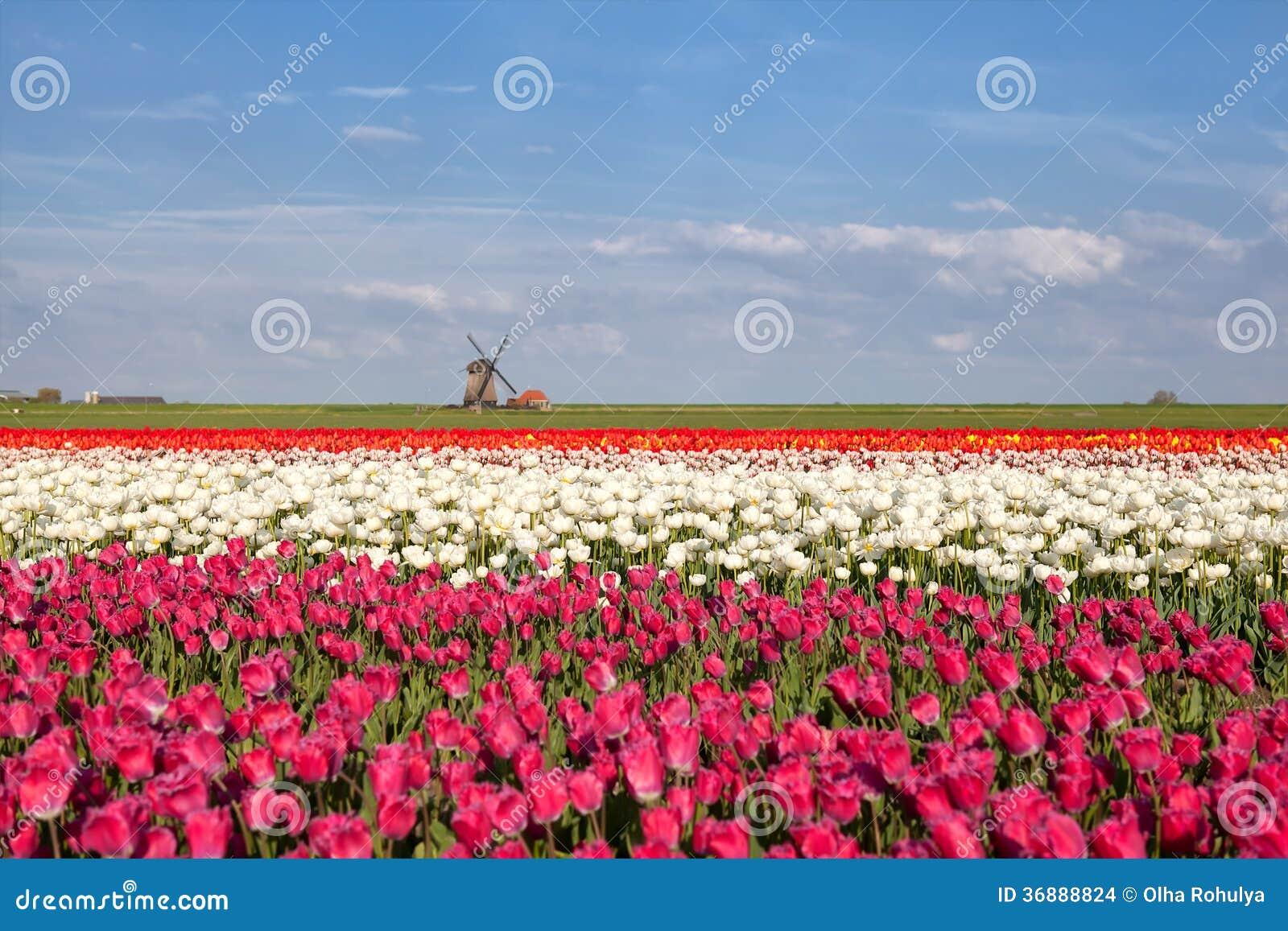 Download Giacimento Del Mulino A Vento, Del Cielo Blu E Del Tulipano Fotografia Stock - Immagine di esterno, coltivato: 36888824