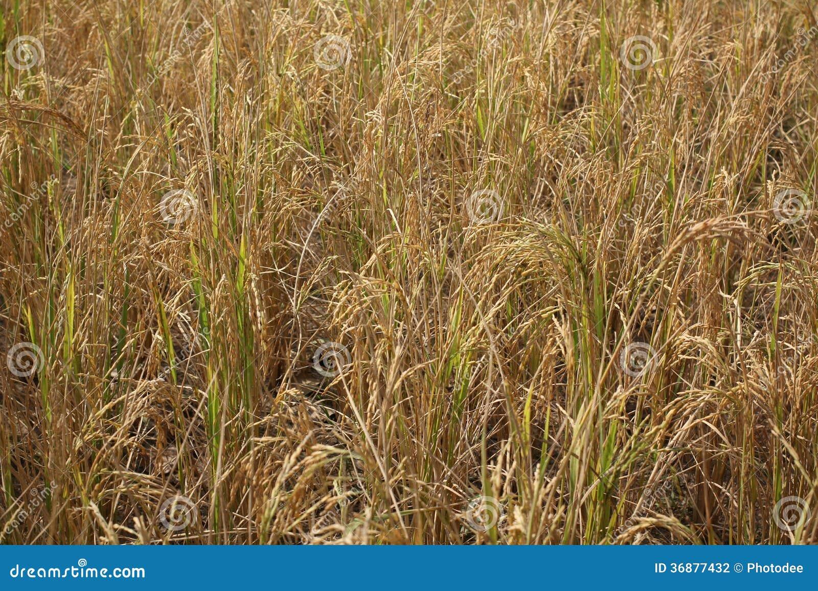 Download Giacimento Del Riso Dell'oro Fotografia Stock - Immagine di riso, maturo: 36877432