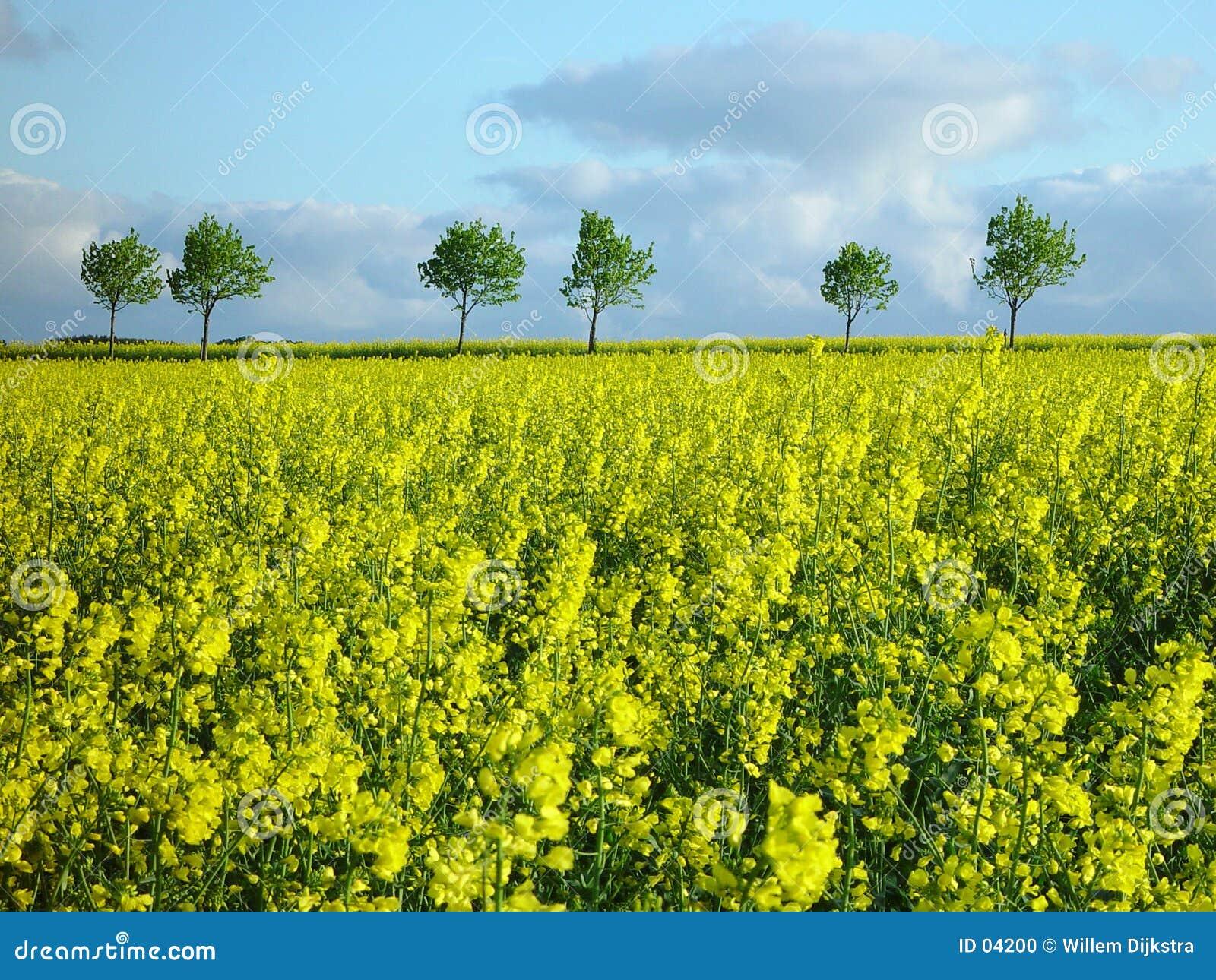 Giacimento del seme di ravizzone