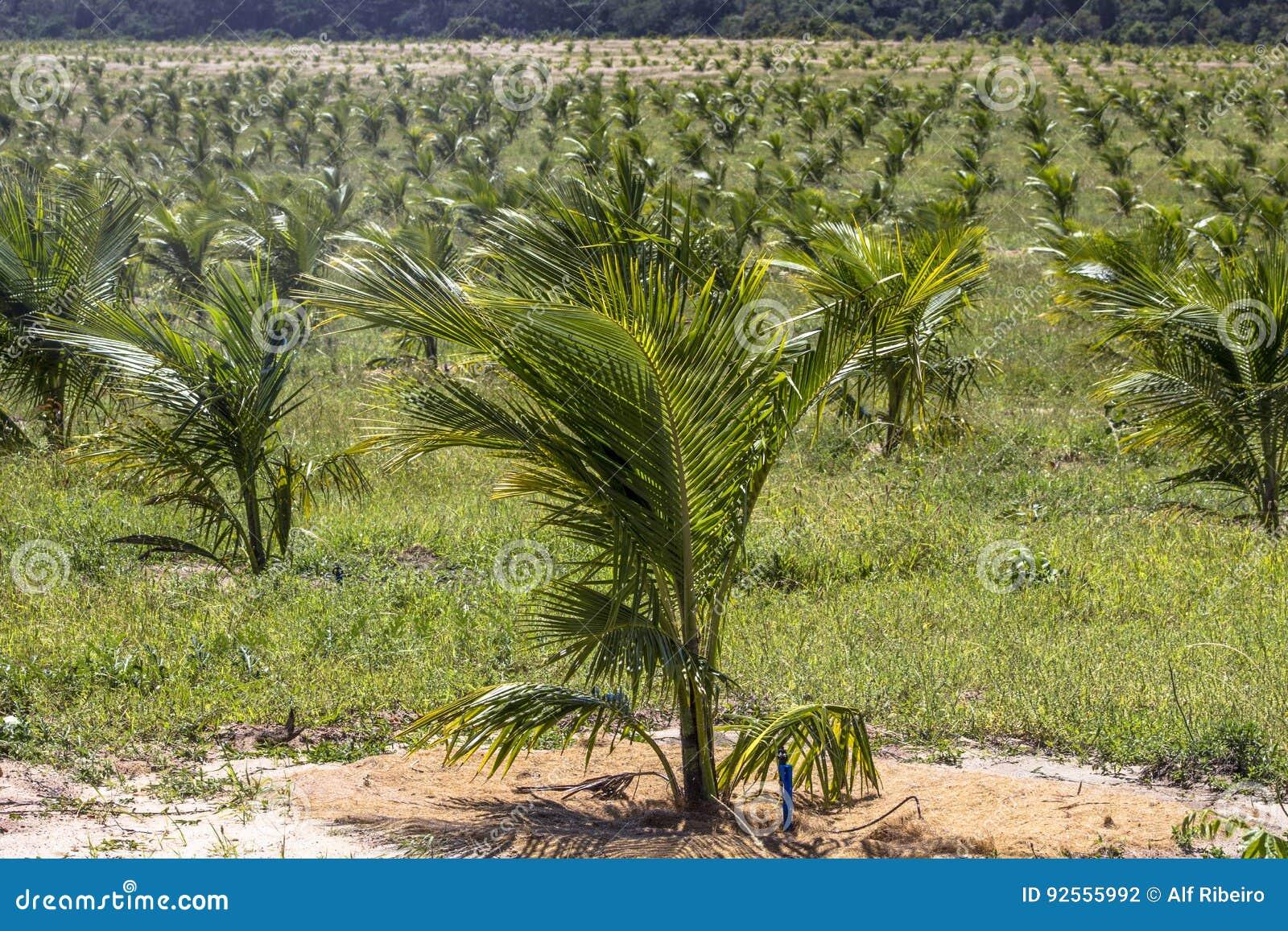 Giacimento della noce di cocco