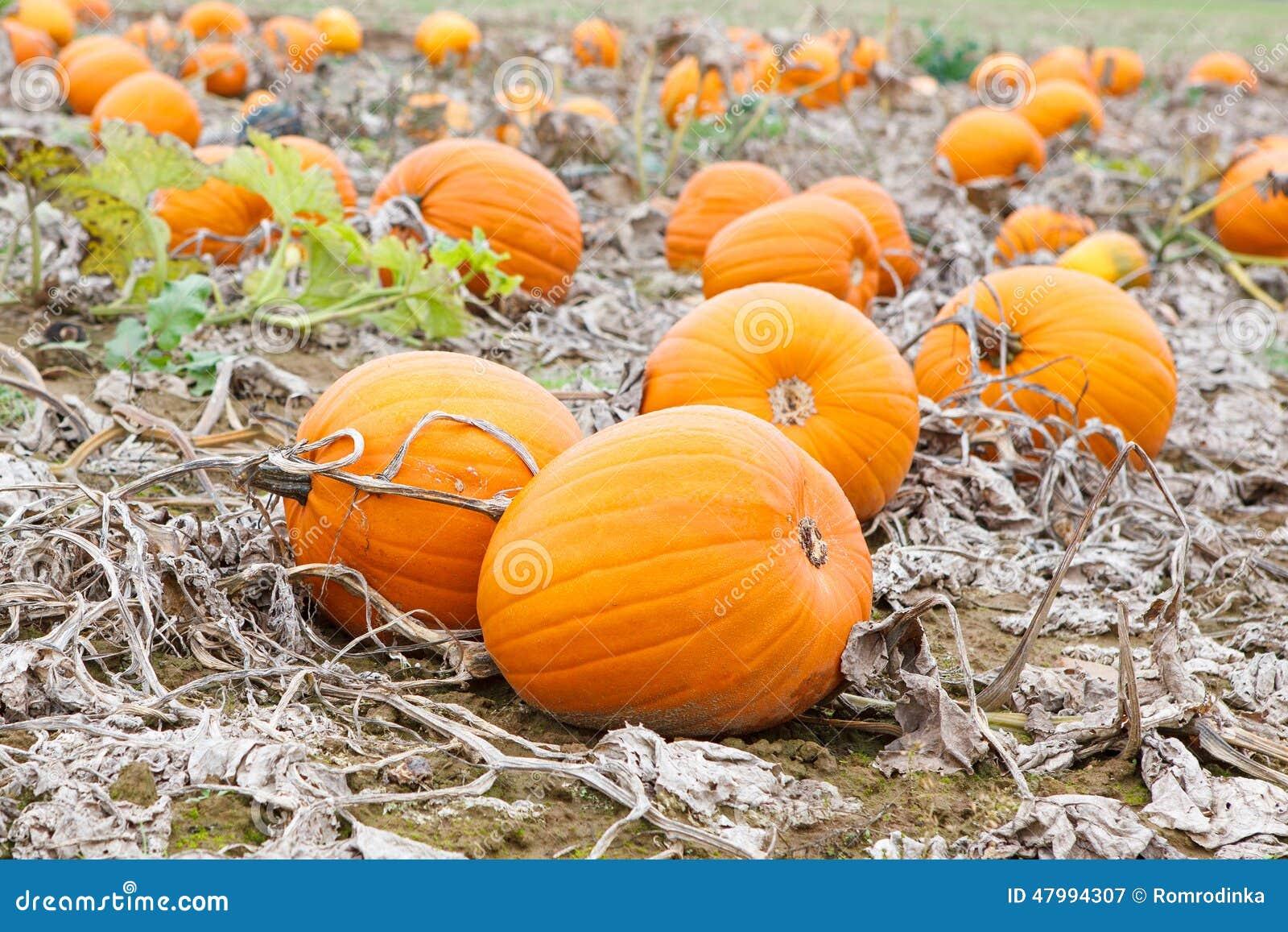 Immagine Zucca Di Halloween 94.Giacimento Della Zucca Con Differenti Tipi Di Zucche Il Giorno Di