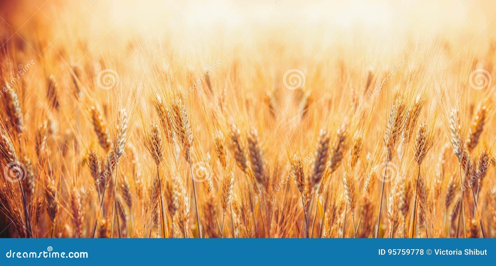 Giacimento di cereale dorato con le orecchie di grano, azienda agricola di agricoltura e concetto di azienda agricola