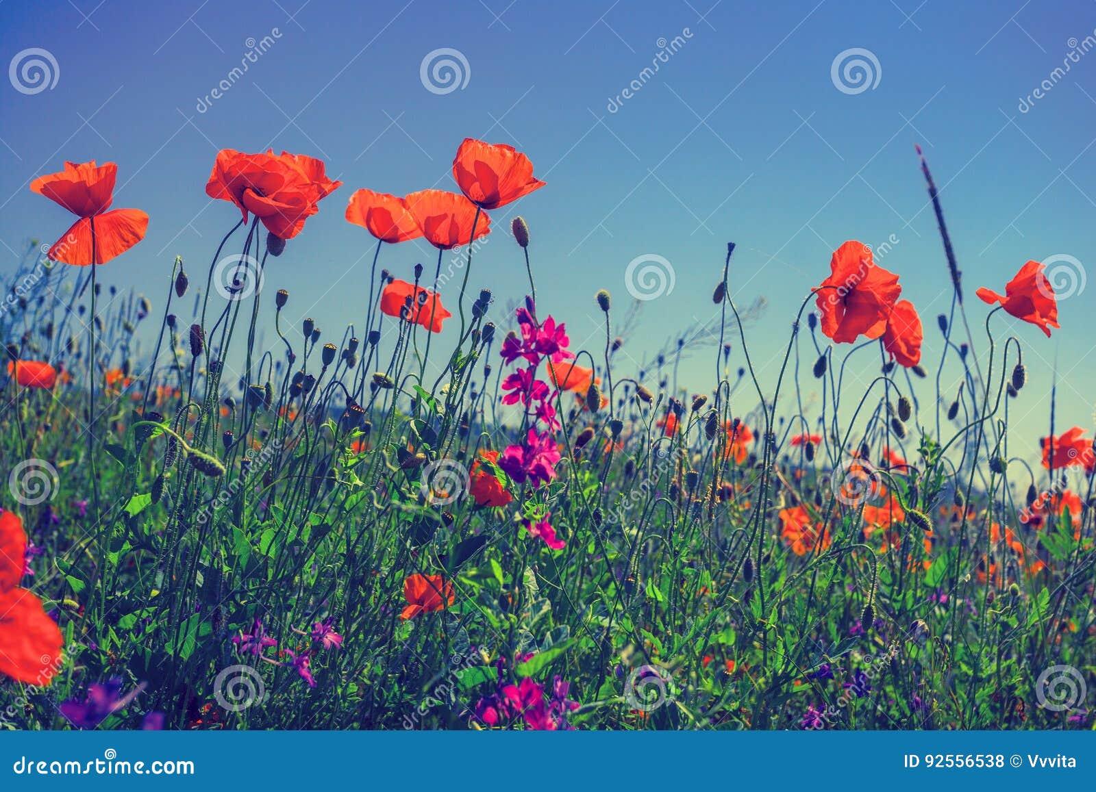Giacimento di fiori del papavero