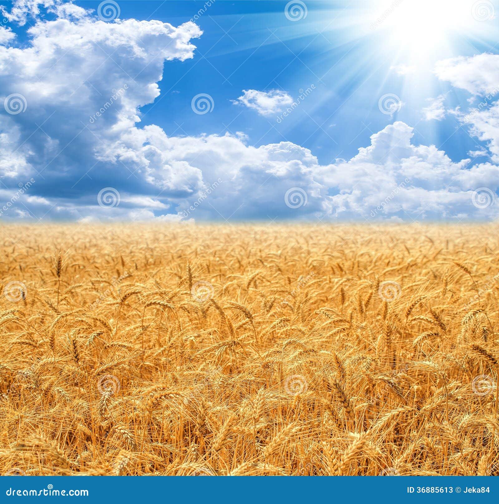 Download Giacimento di grano immagine stock. Immagine di segale - 36885613