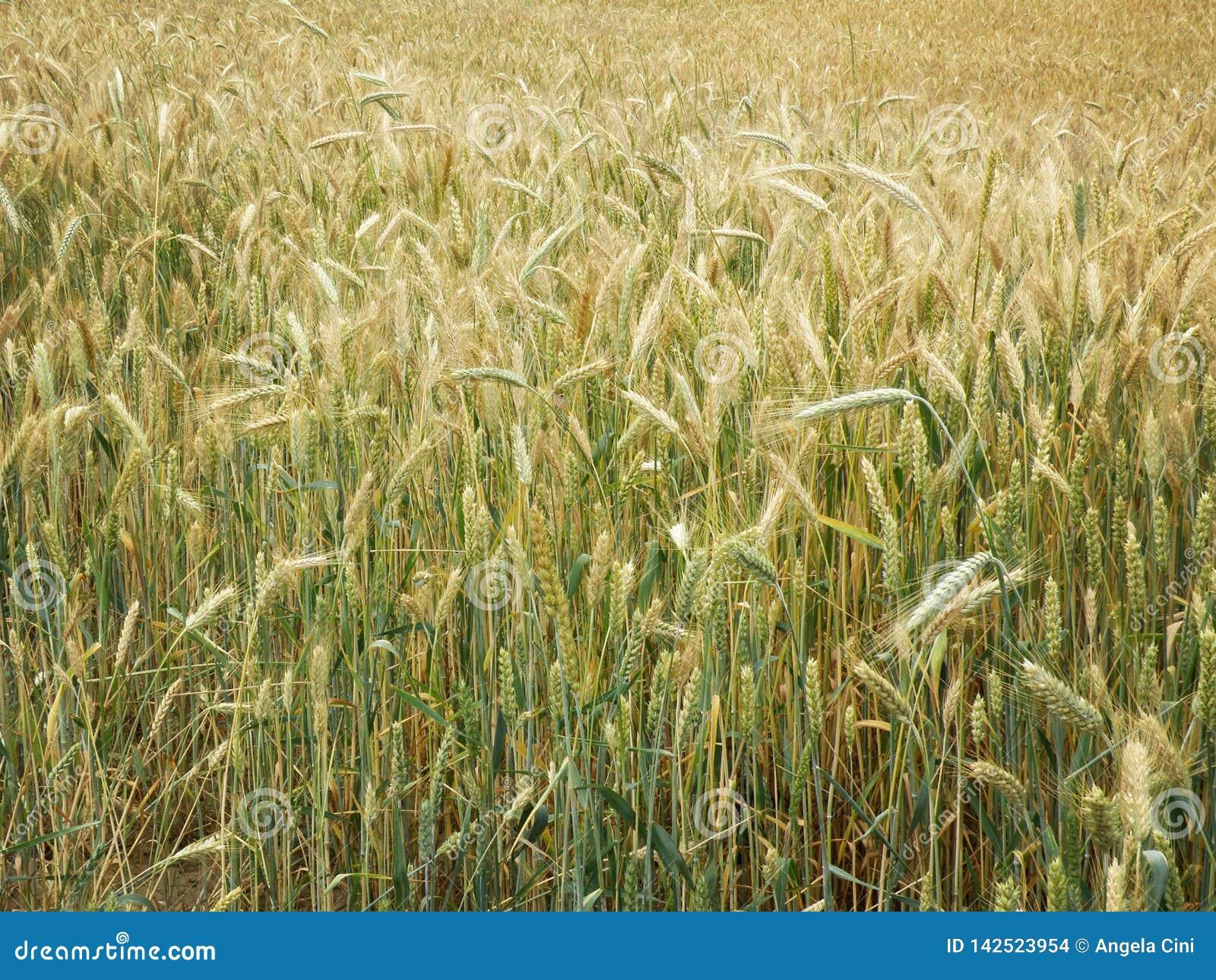 Giacimento di grano agricolo alla primavera
