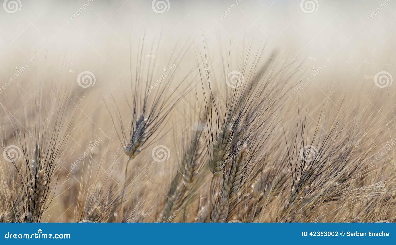 Giacimento di grano in Provenza