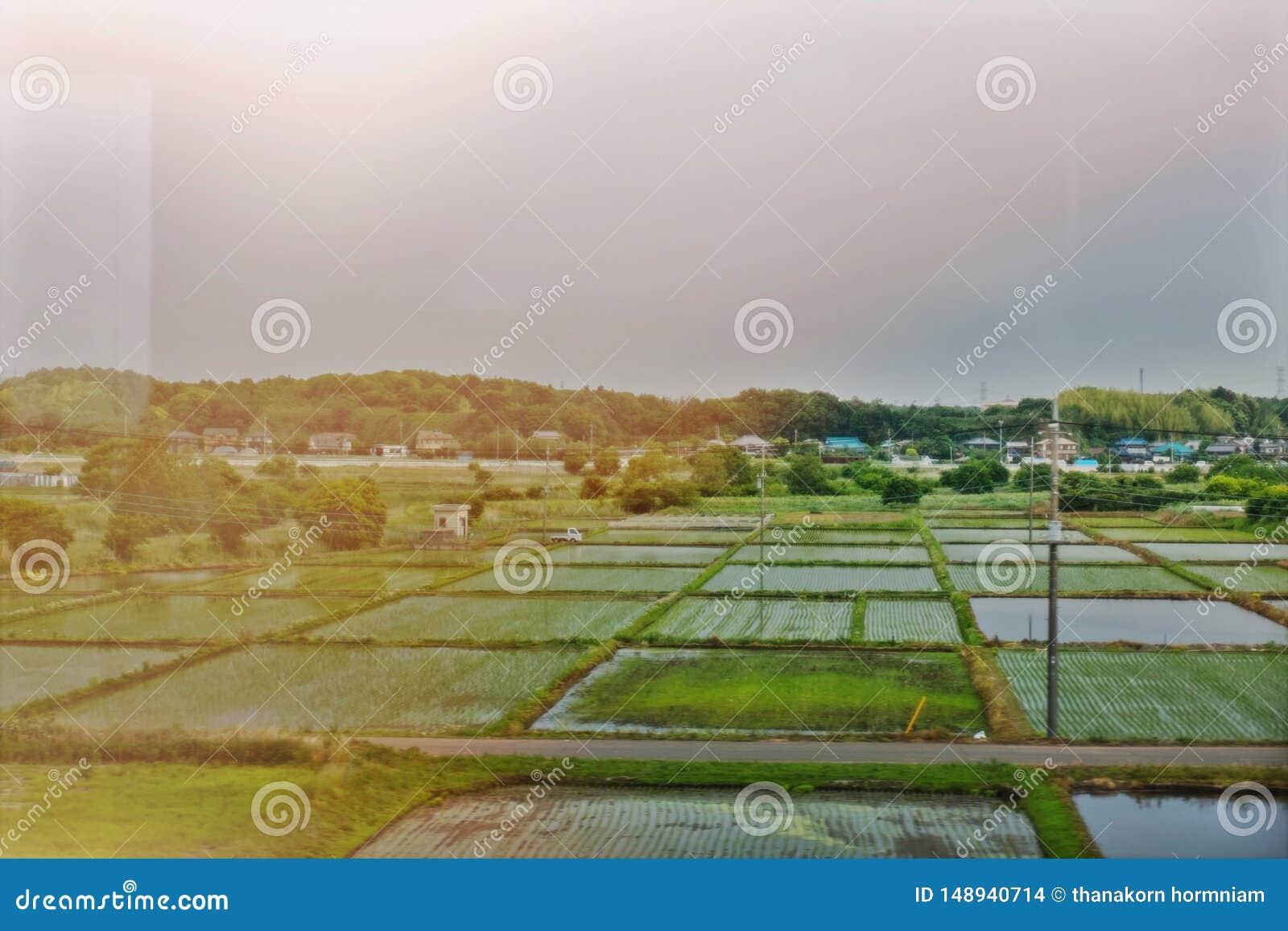 Giacimento giapponese del riso