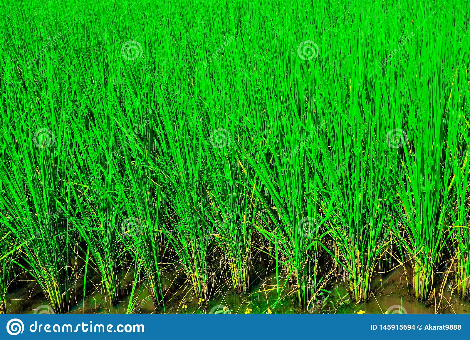 Giacimento verde del riso