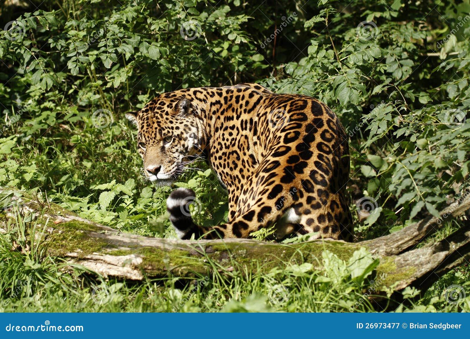 Giaguaro arduo