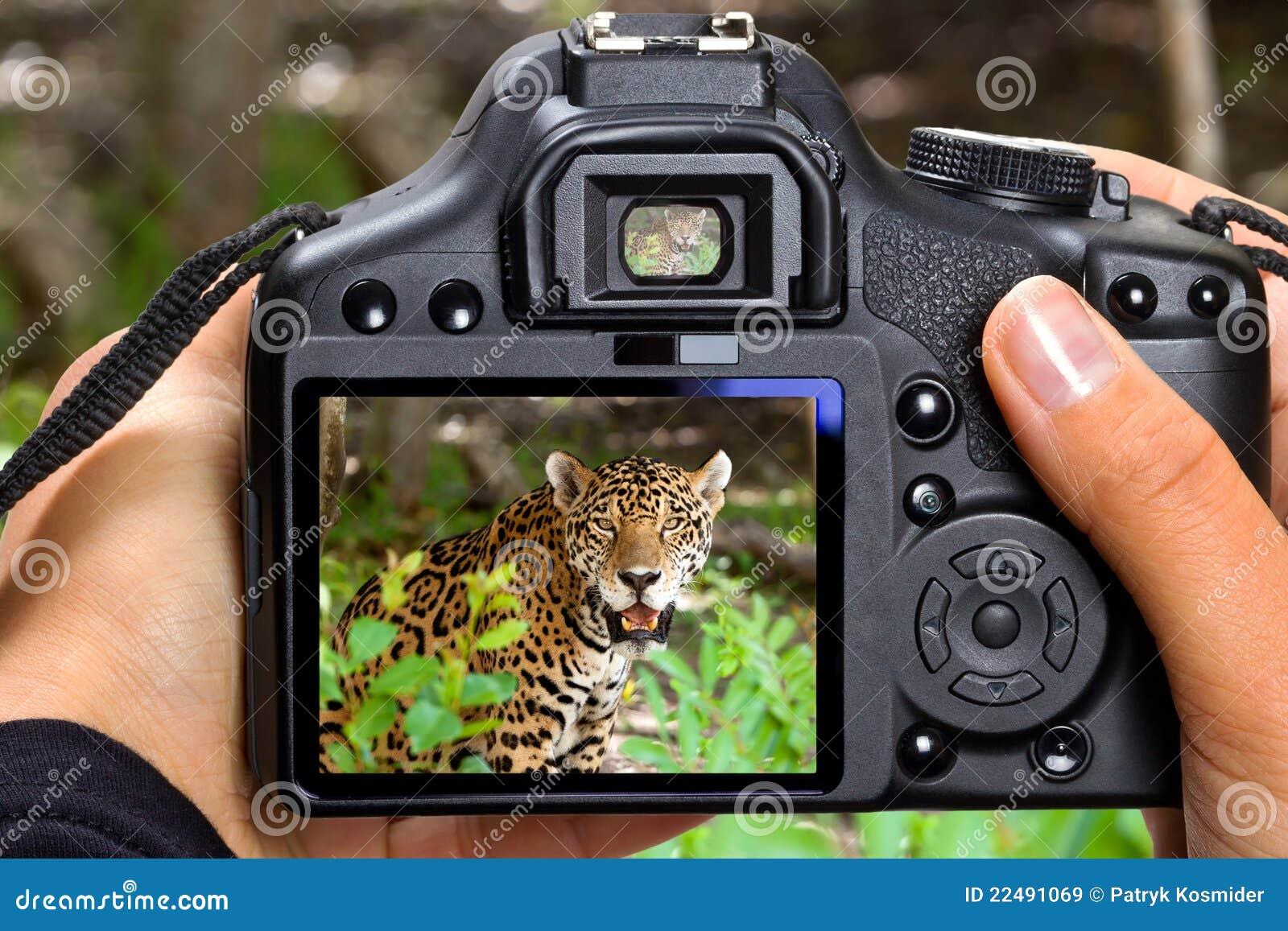 Giaguaro della fucilazione in fauna selvatica