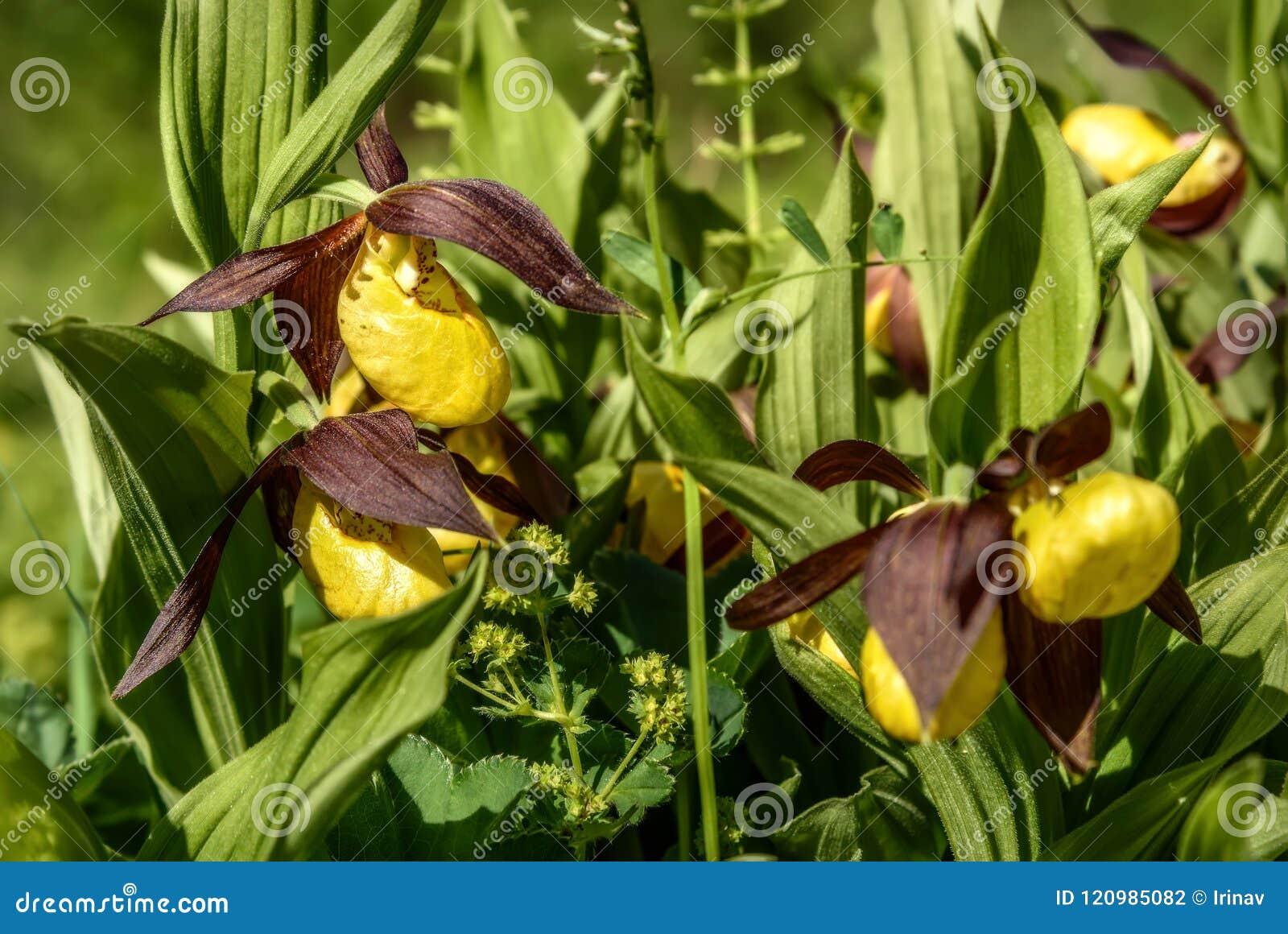Fiori Gialli Rari.Giallo Del Fiore Della Pantofola Di Venere Dell Orchidea