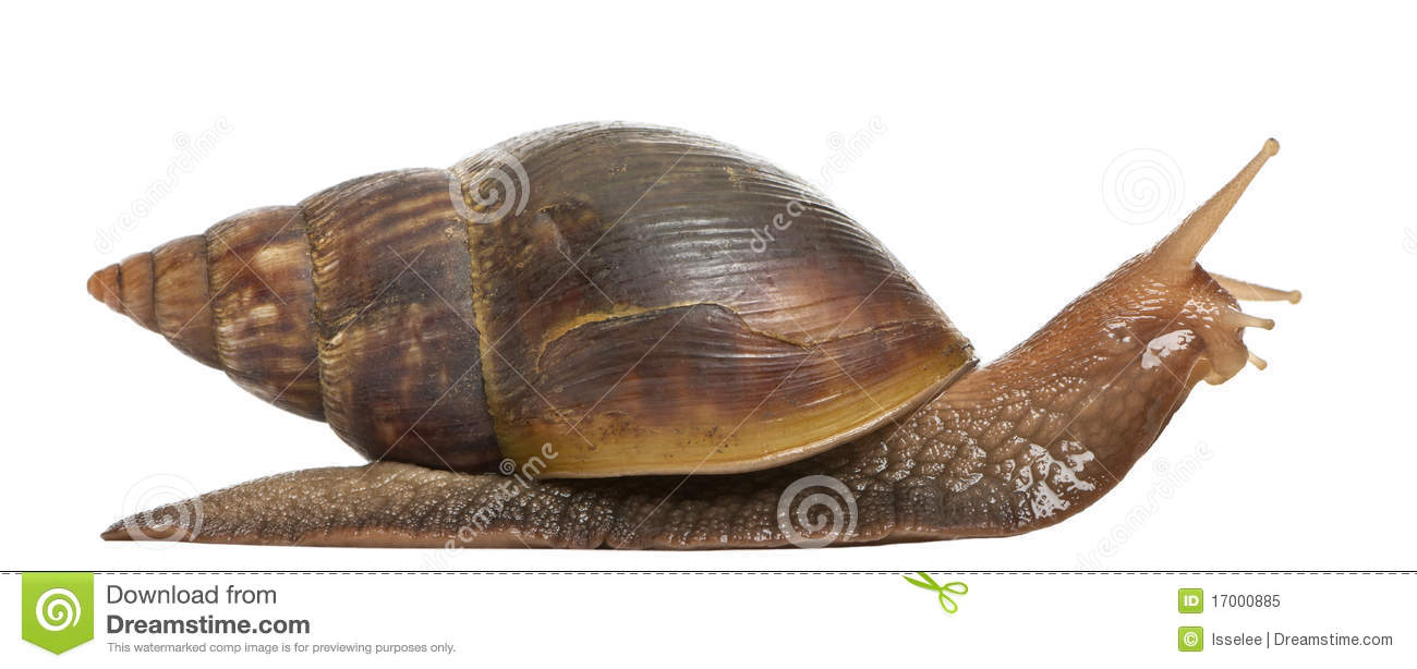 giant african land snail  achatina fulica  5 royalty free stock photo