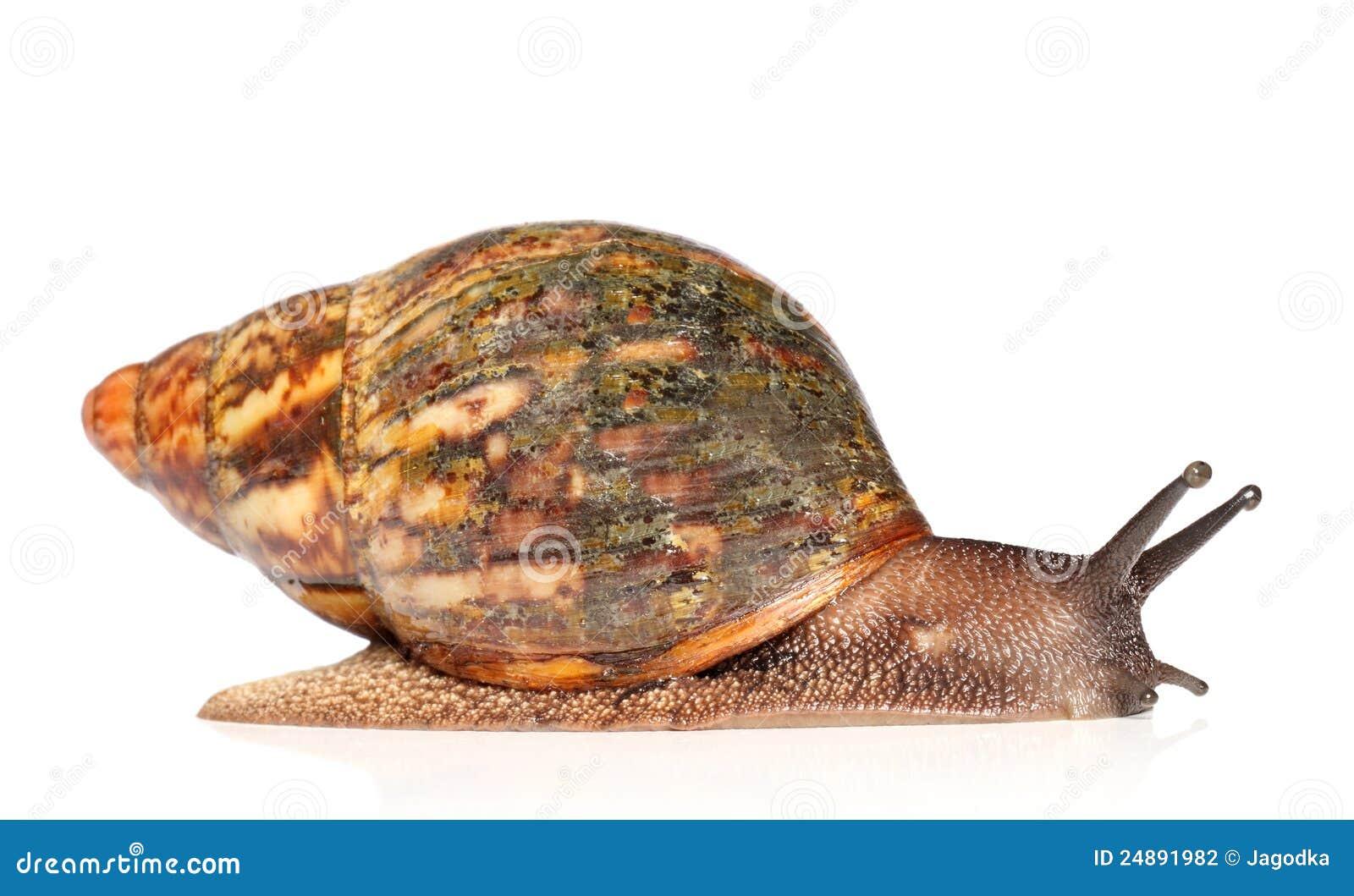 Giant Lumaca Africana Achatina Strisciando Archivio Fotografico - Immagine 24891982-7675