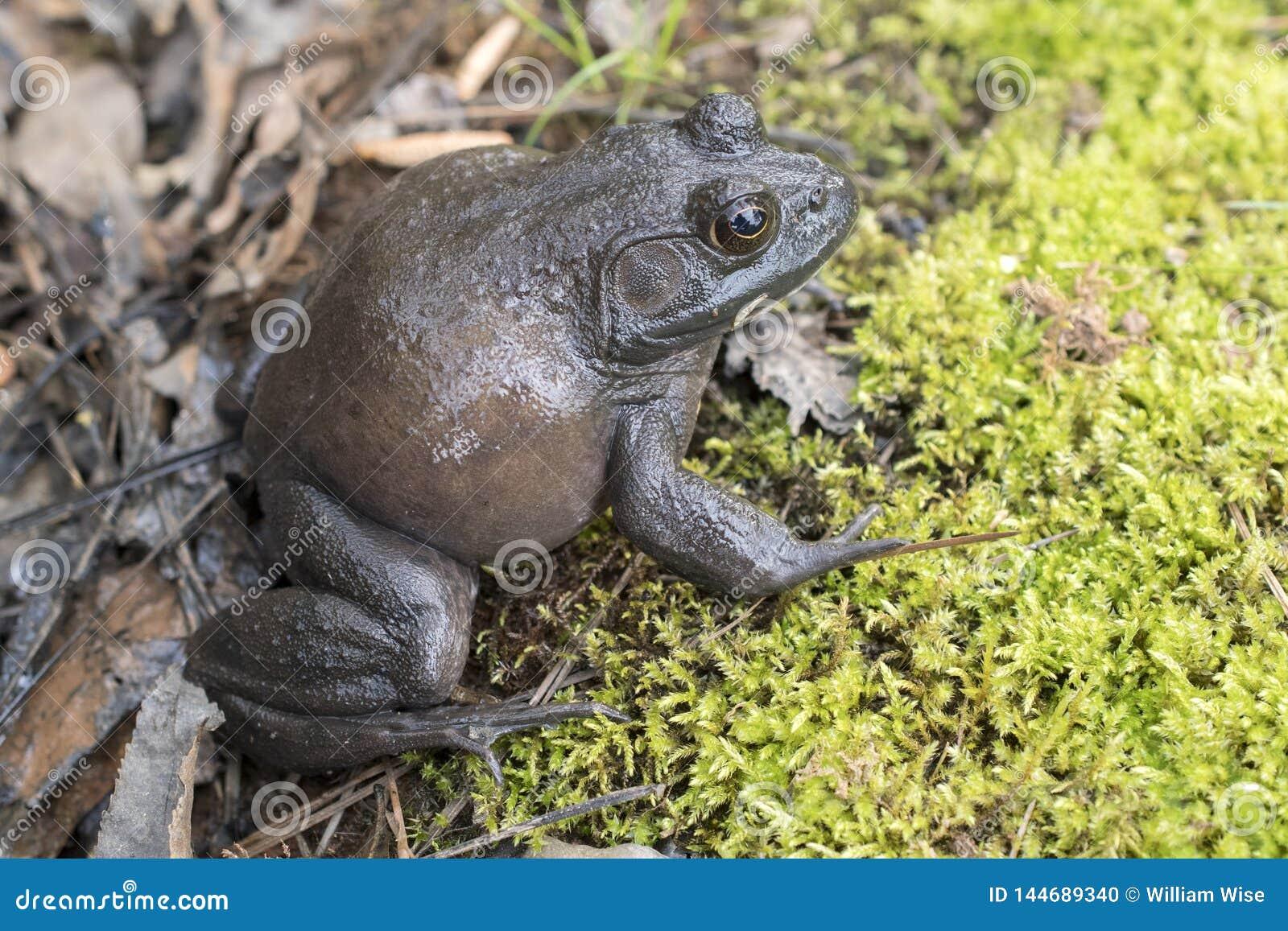 Giant American Bullfrog, Georgia