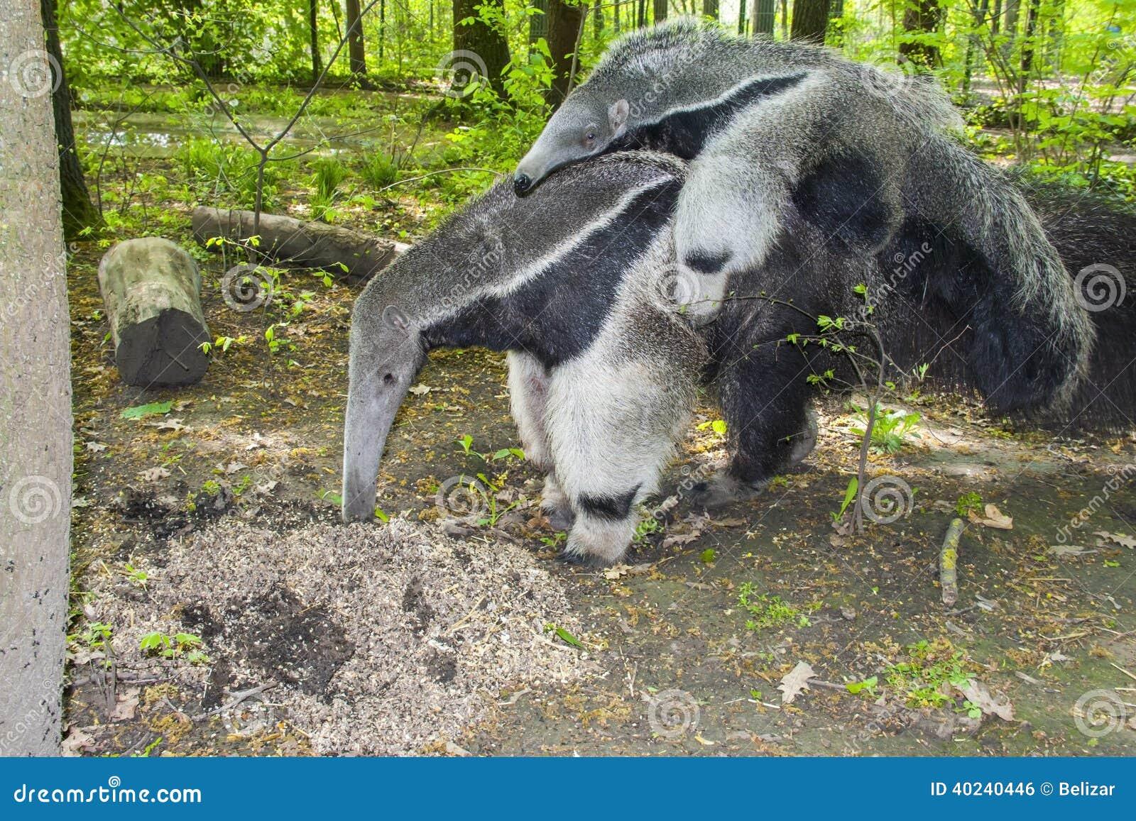 giant anteater eating ants