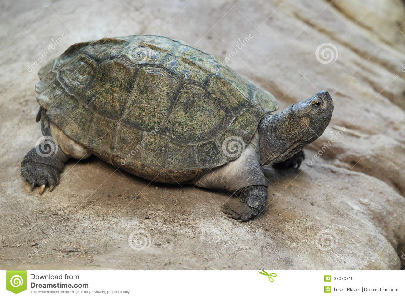 Asian pond turtle