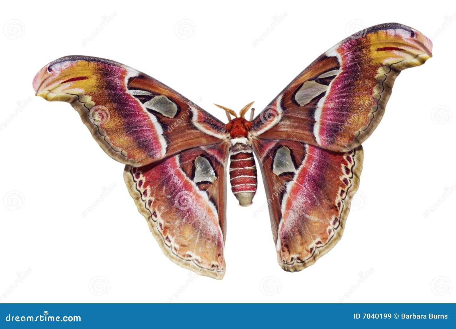 Giant Atlas Moth Cutout