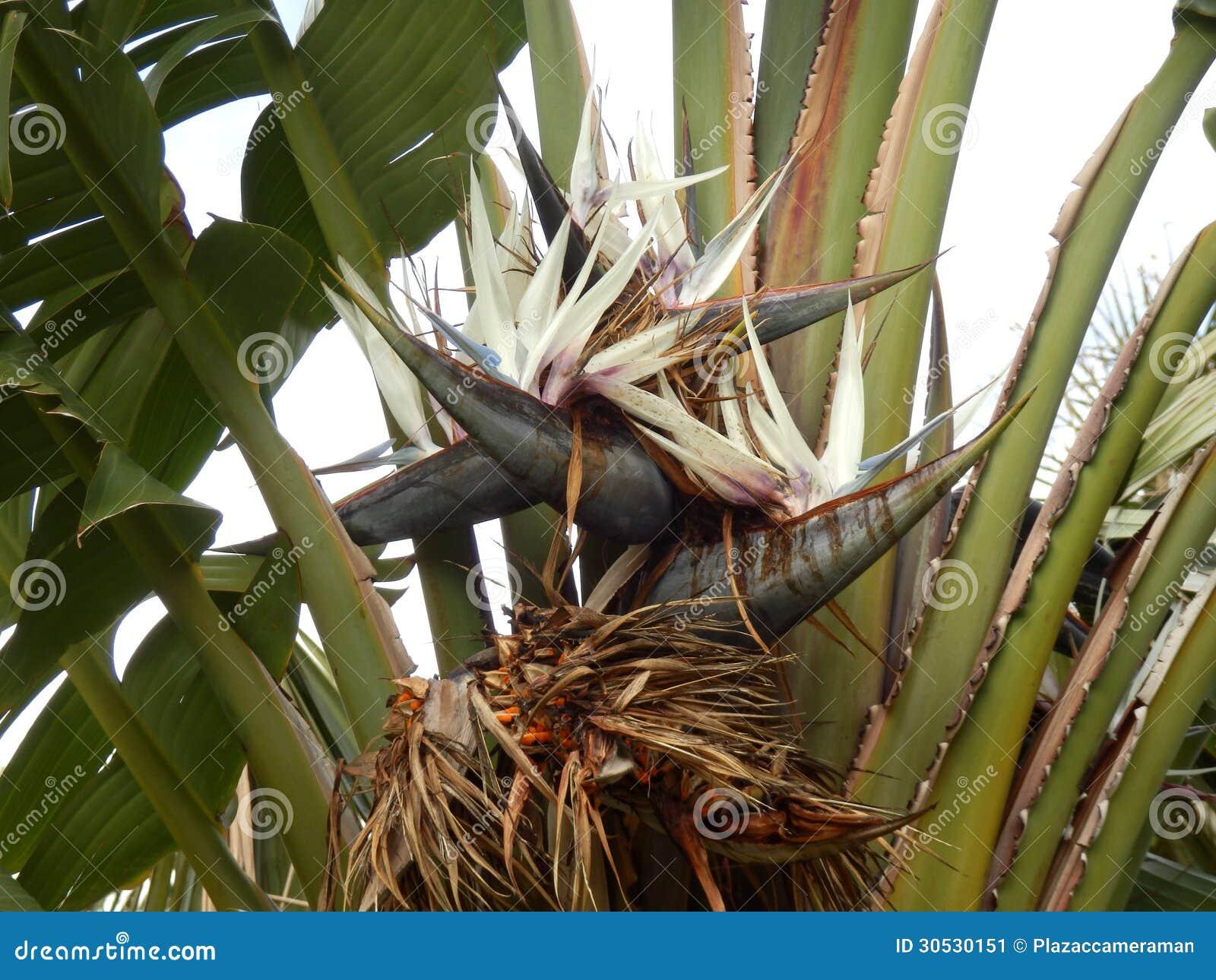 Giant bird of paradise plant stock image image of bird bloom giant bird of paradise plant mightylinksfo