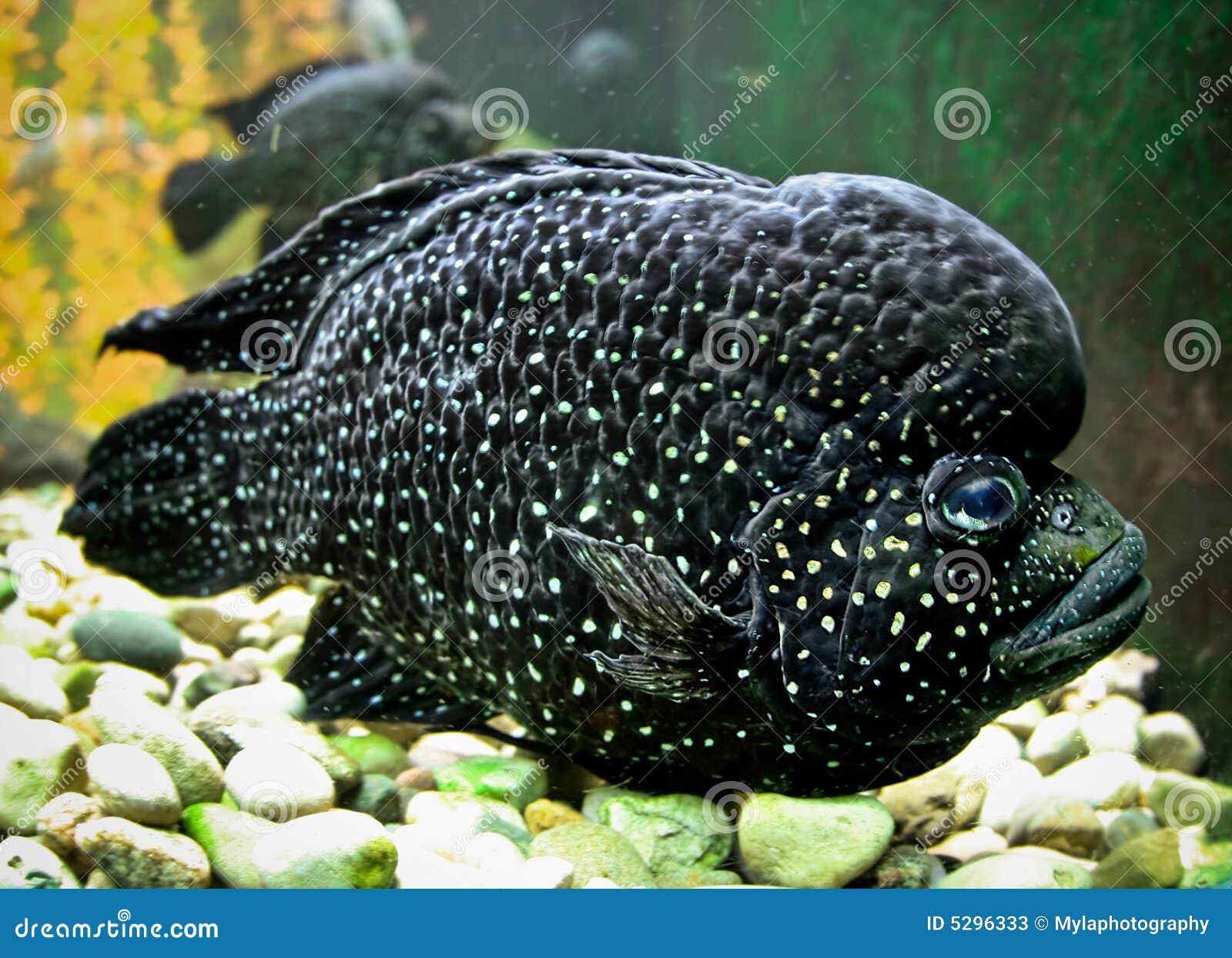 giant black fish stock photos   image 5296333