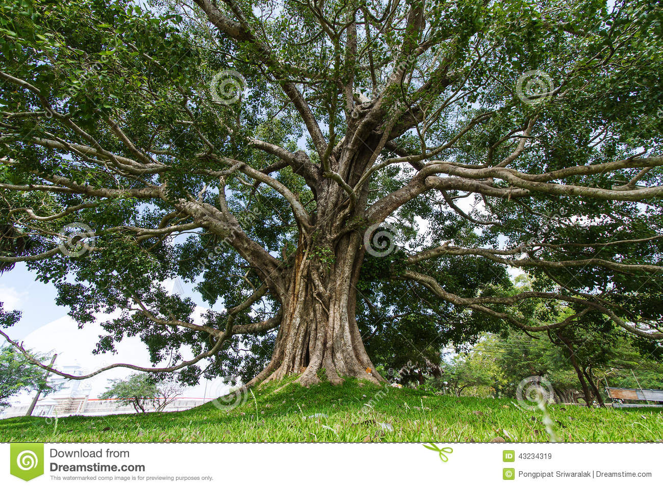 Giant Bodhi Tree, Anuradhapura, Sri Lanka Stock Photo - Image ...