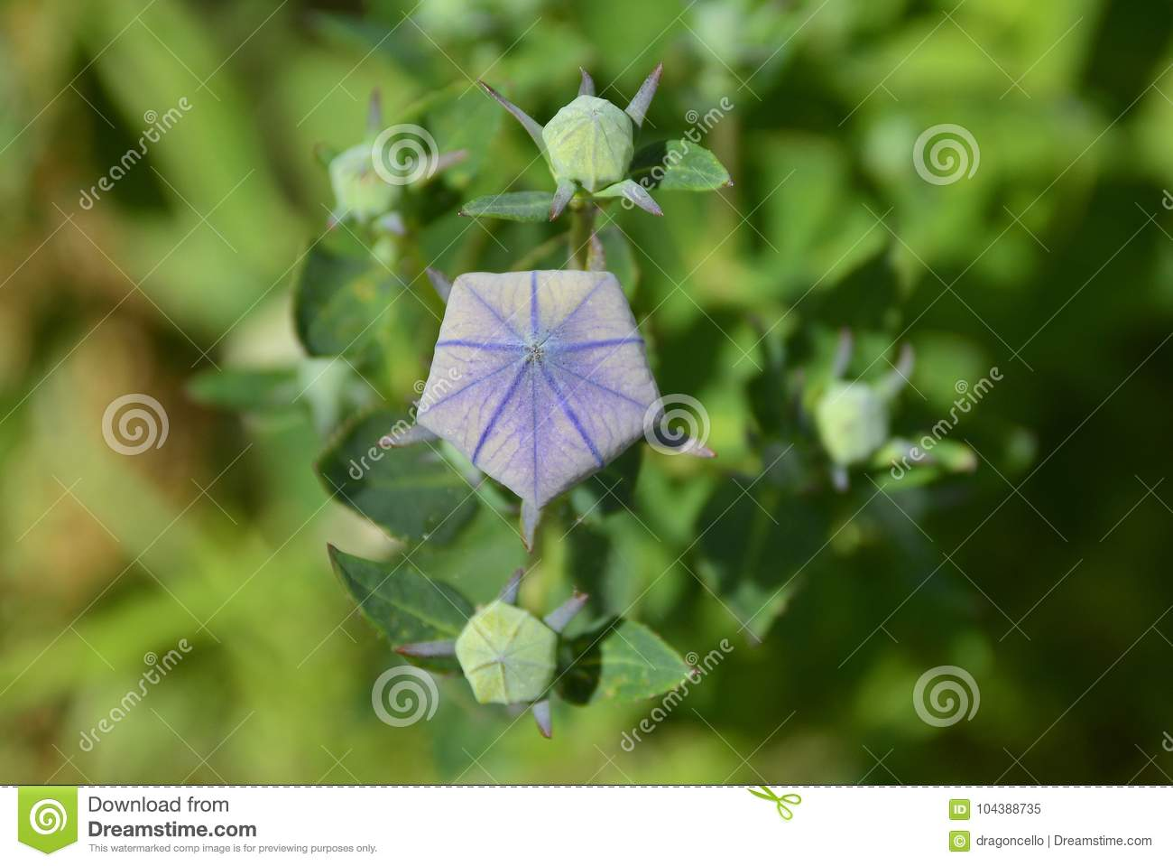 Giant Campanula Buds Stock Image Image Of Flowers Bellflower