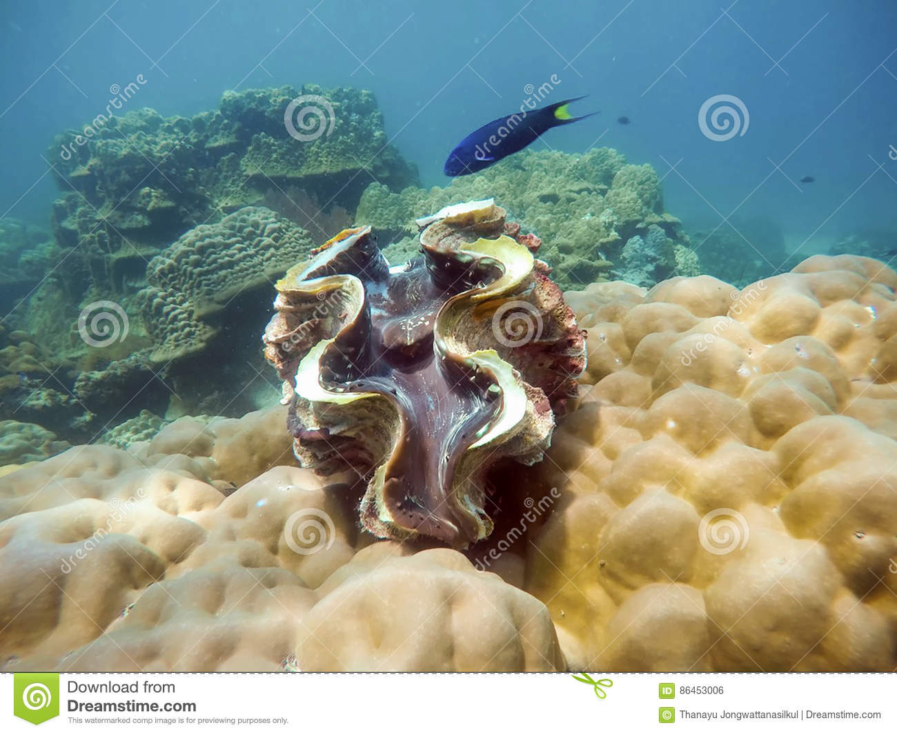 Giant on coral with blue fish in lipe sea