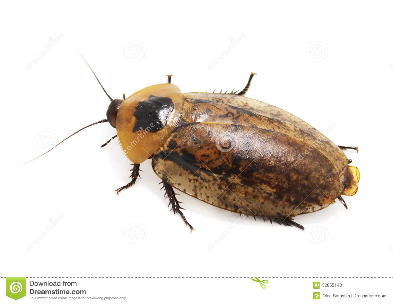 Giant Cockroach (Blaberus) ISOLATED Stock Photos - Image: 32855143: dreamstime.com/stock-photos-giant-cockroach-blaberus-isolated...