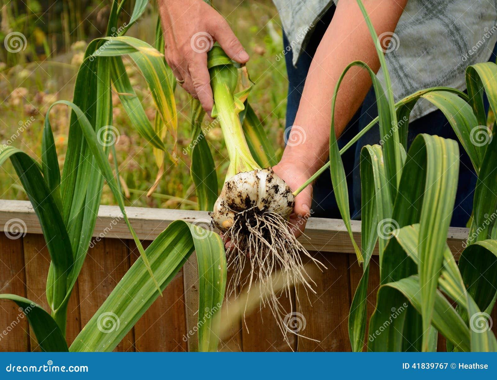Giant (elephant) garlic