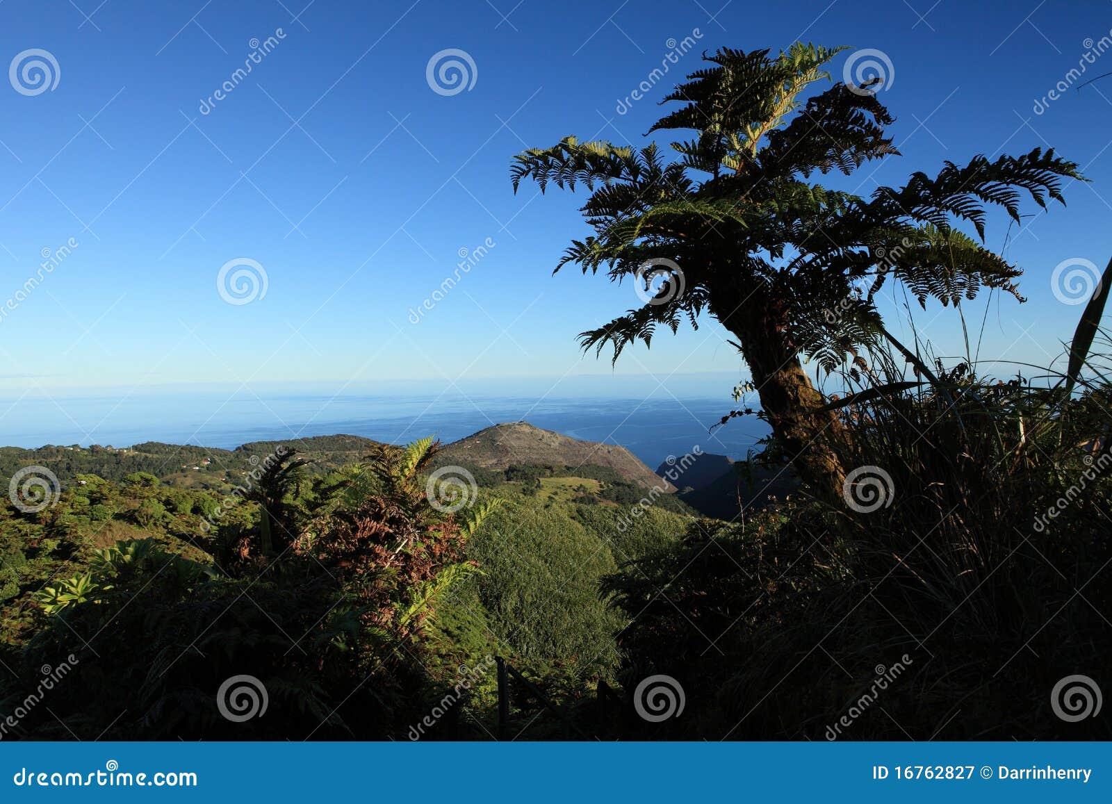Giant endemic tree fern on remote St Helena Island