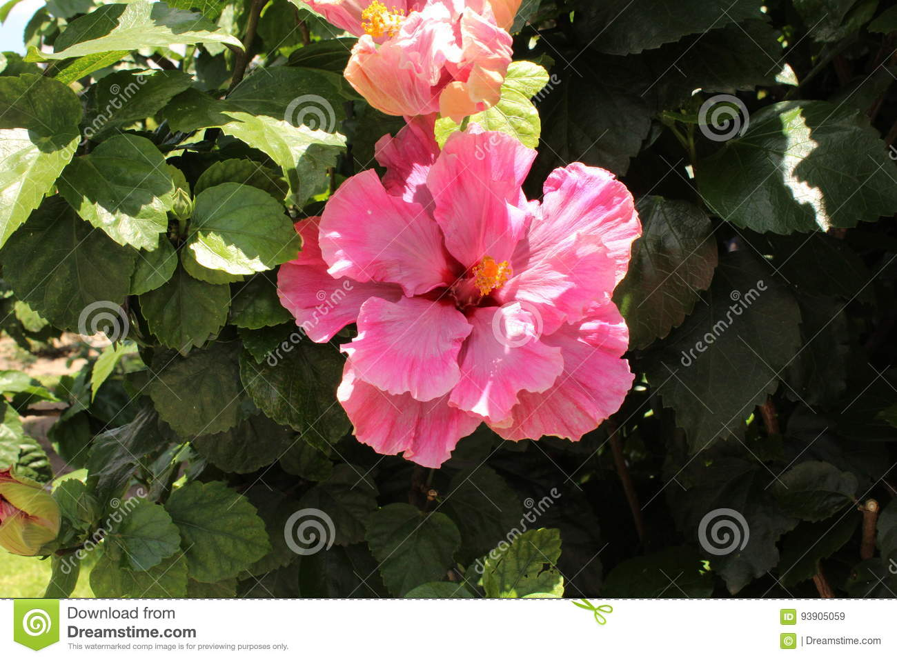 Giant Flower Pink Stock Image Image Of Pink Flower 93905059