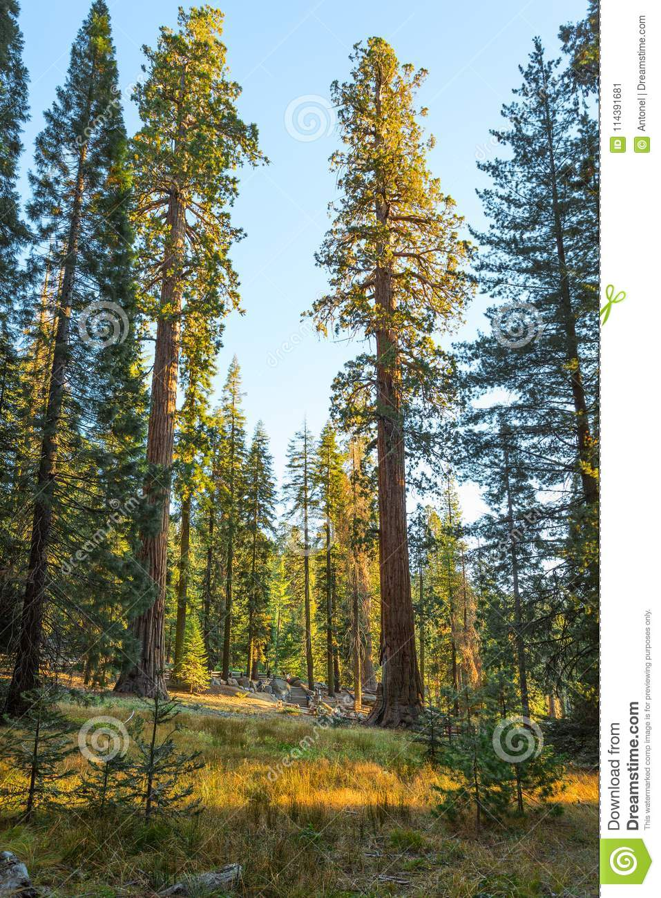Giant Forest in the rays of the setting sun, Sequoia National Park, Tulare County, California, United States