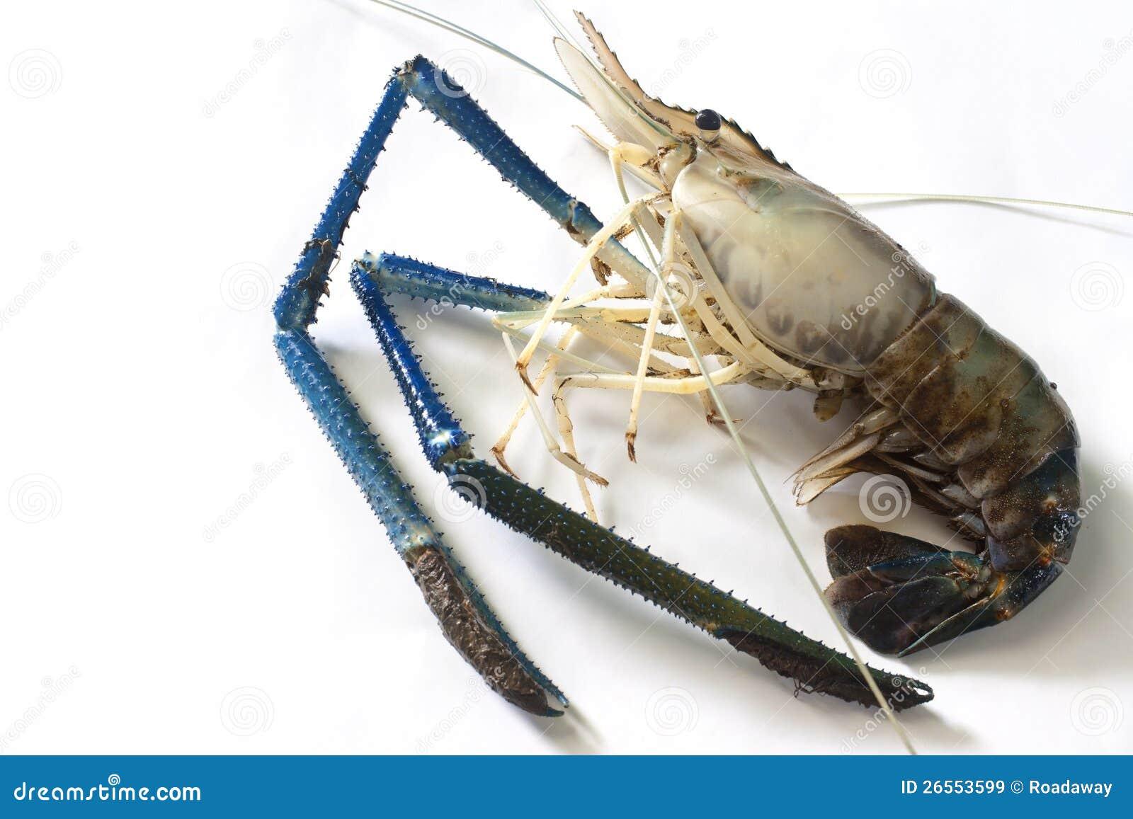 Giant freshwater prawn stock image  Image of life, cook