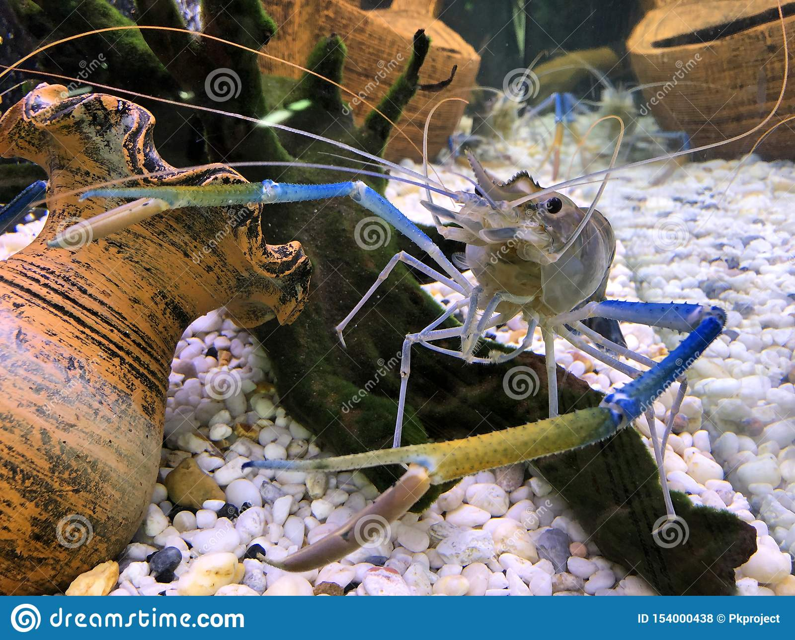 Giant Freshwater Prawn Or Giant River Shrimp In Tank Stock