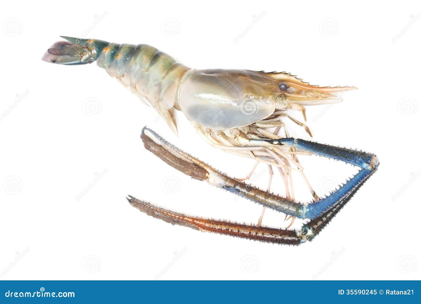 Giant Freshwater Prawn stock image  Image of nature, seafood