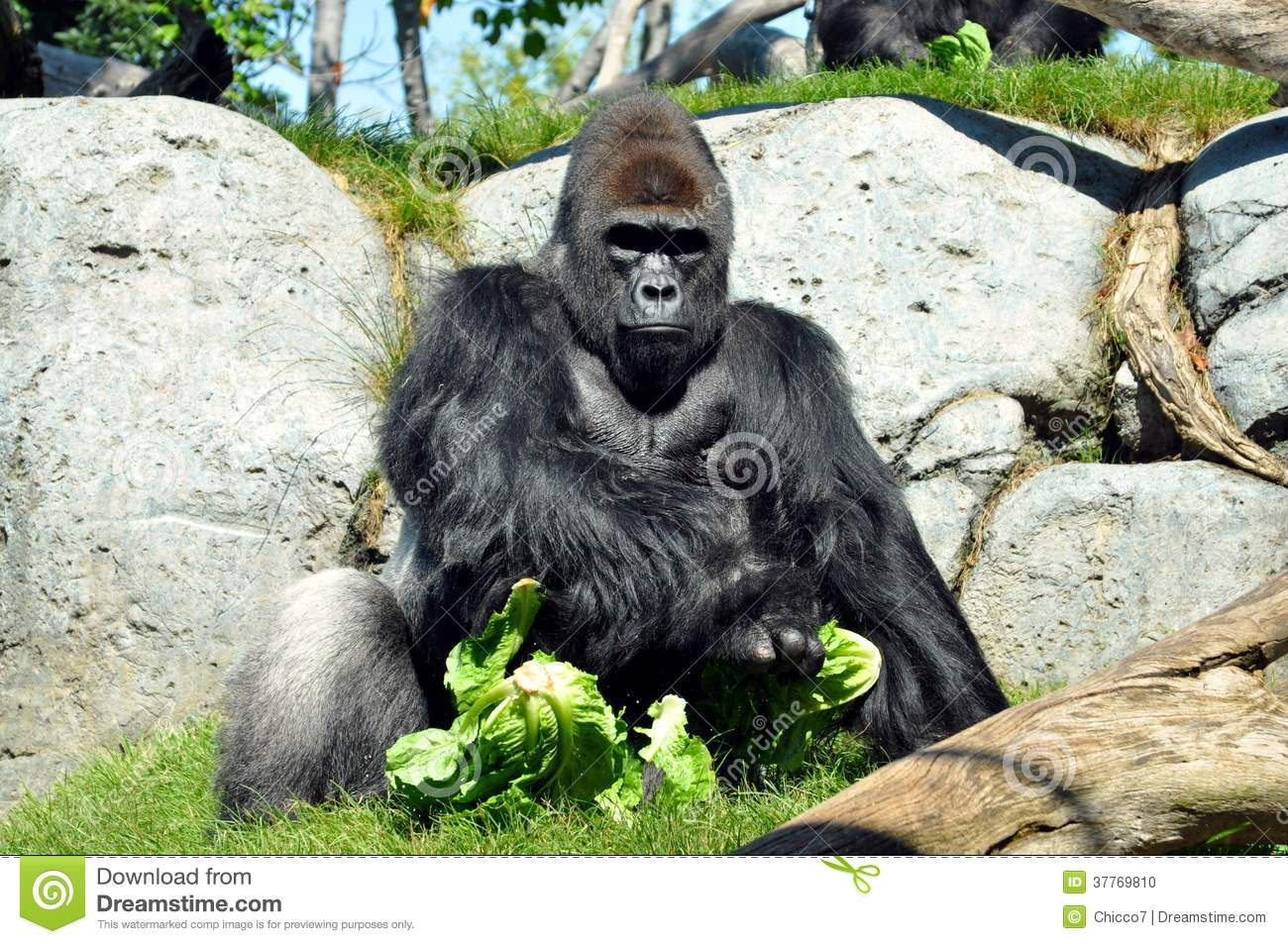 Giant Gorilla Having Lunch At San Diego Zoo Stock Photo ... | 1300 x 953 jpeg 236kB