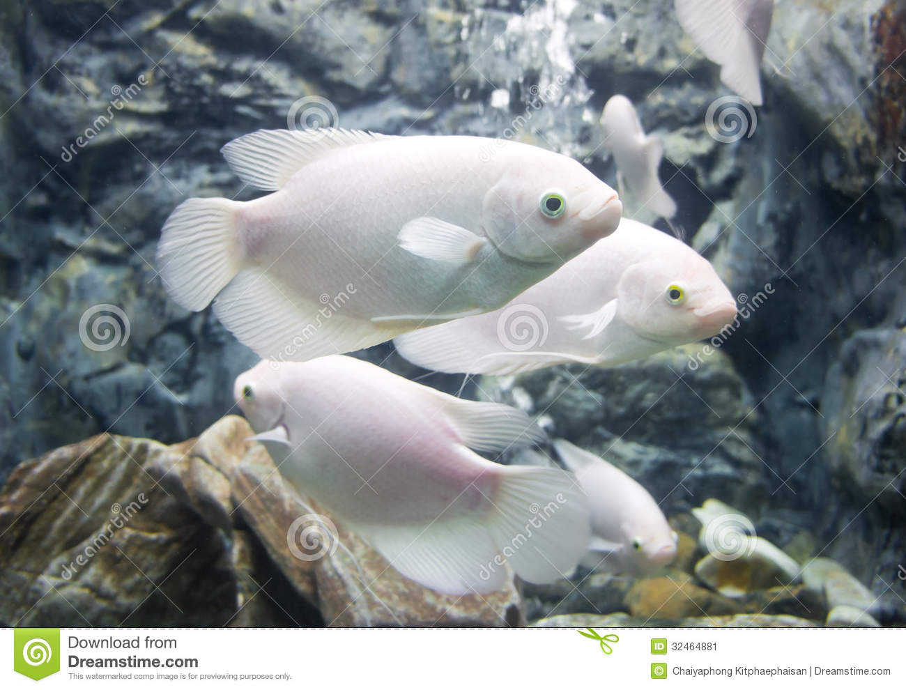 Giant gourami fish stock image image 32464881 for Pictures of white fish