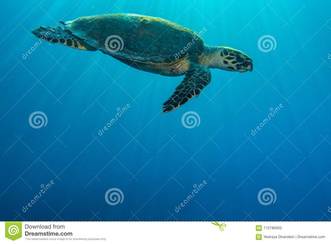 Giant Green Sea Turtles in the Red Sea, eilat israel a.e