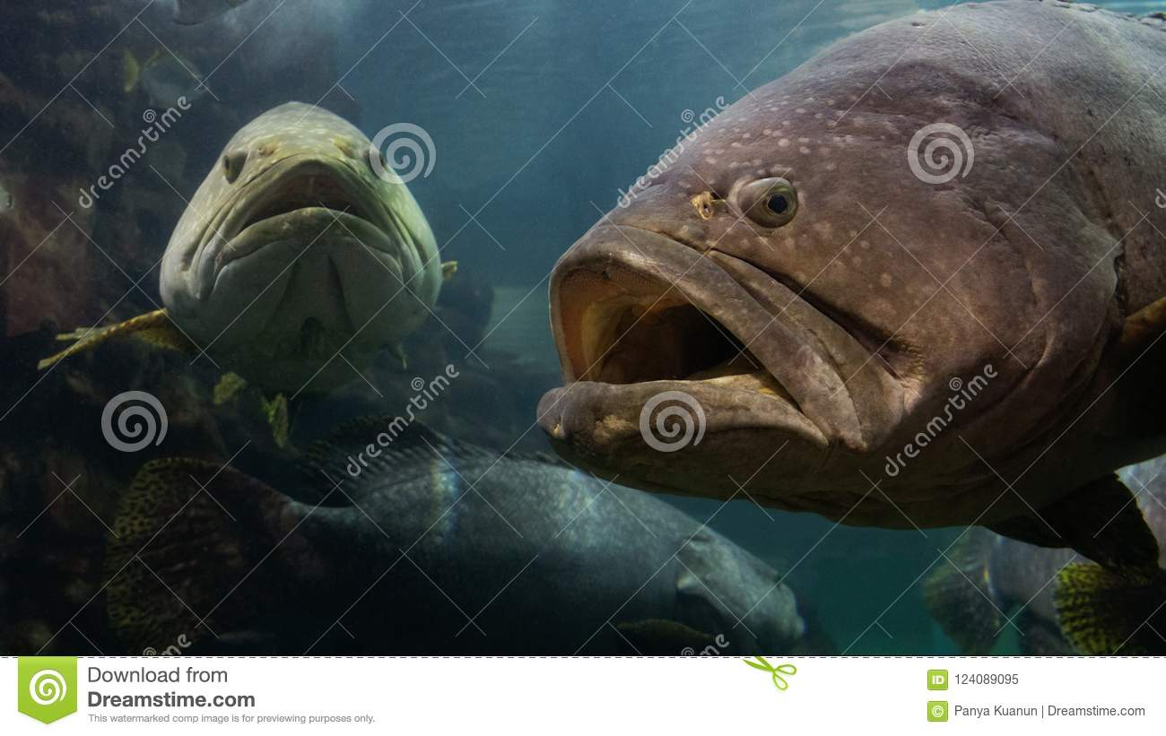 The Giant Grouper Fish In The Andaman Sea Stock Image Image Of