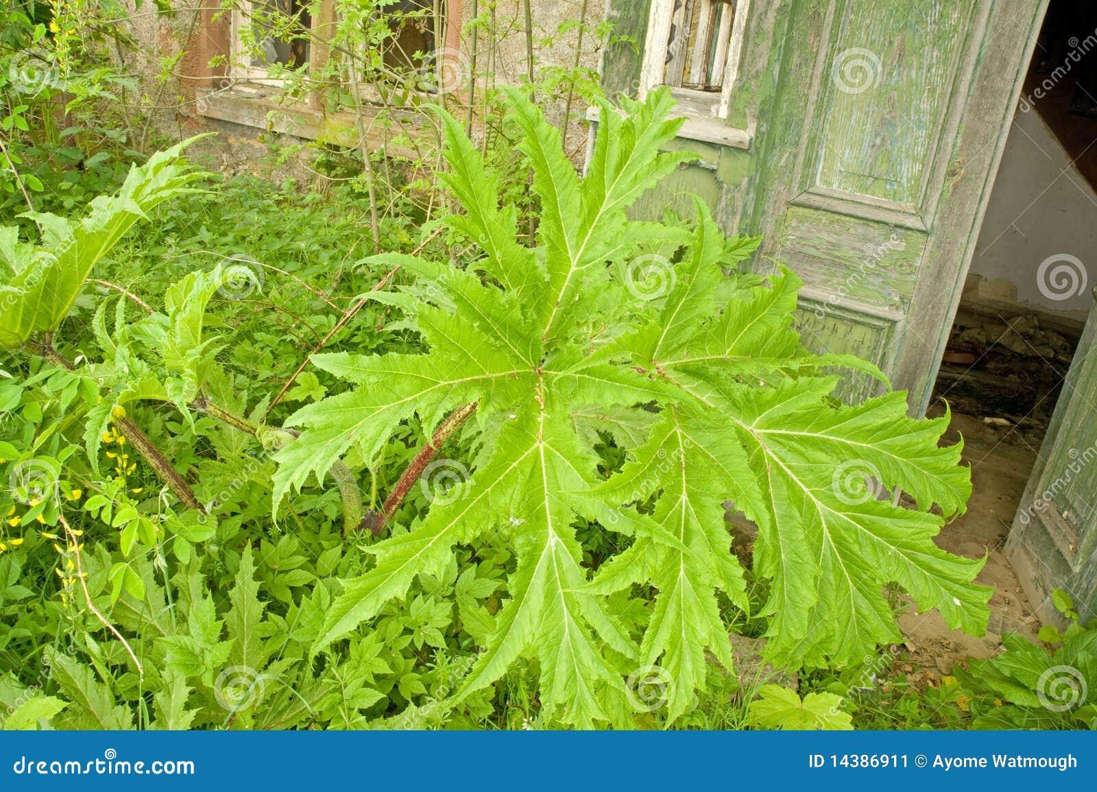 Giant hogweed.