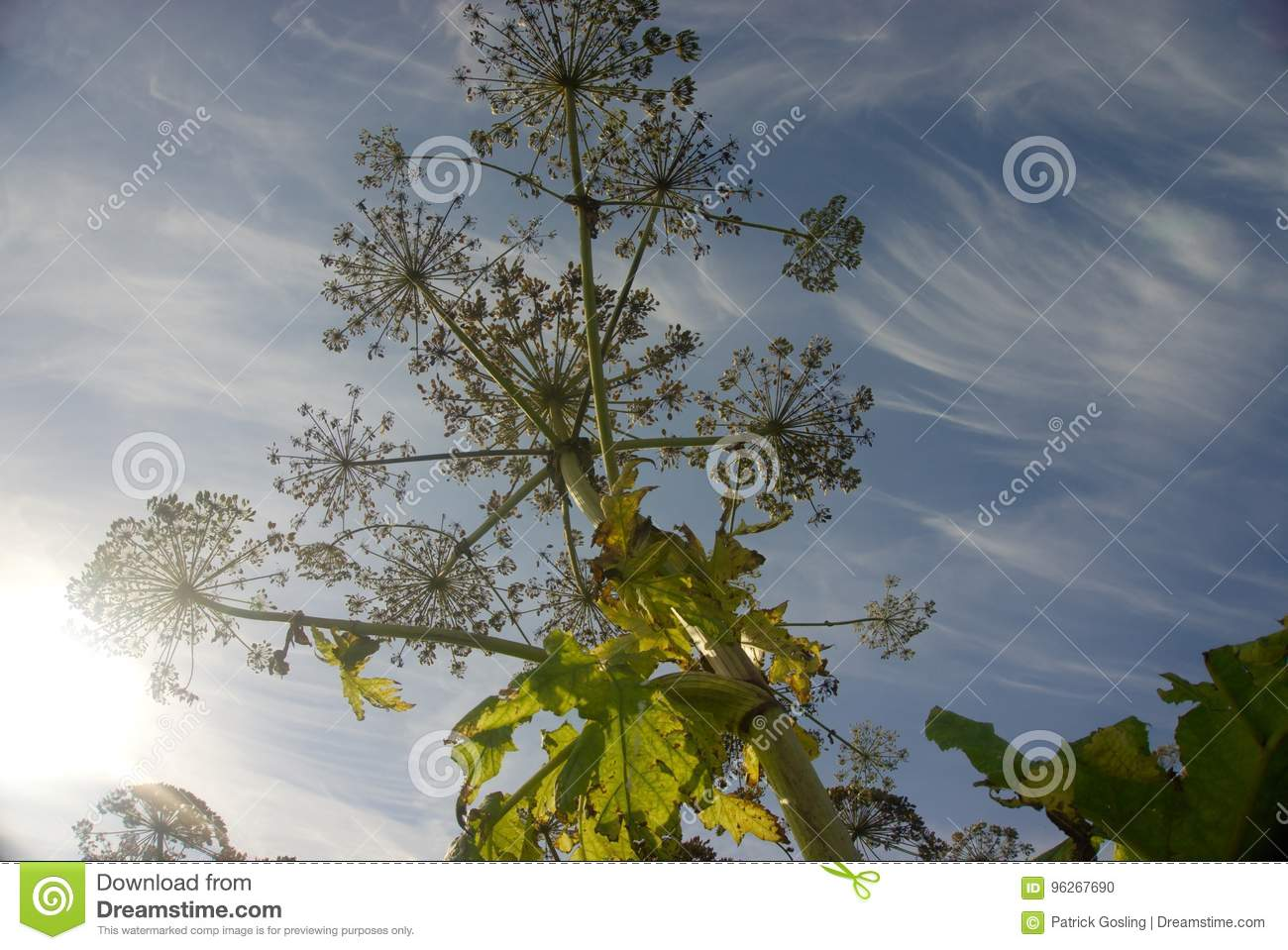Giant Hogweed Silhouette