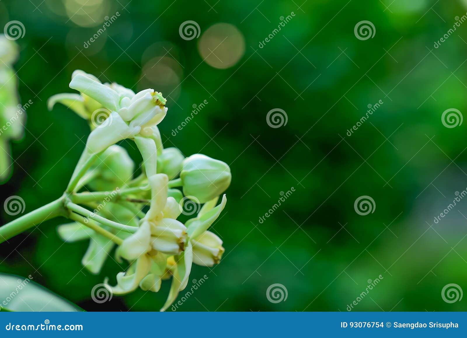 Giant Indian Milkweed