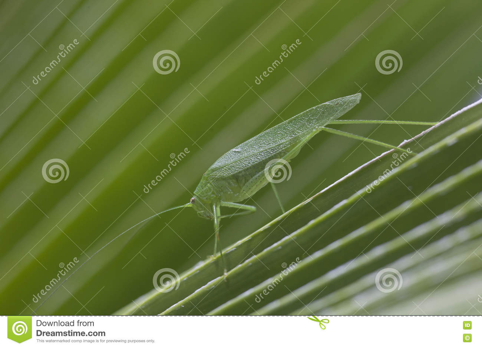 Giant Katydid Long Legged Green Leaf Grass Hopper Stock ...