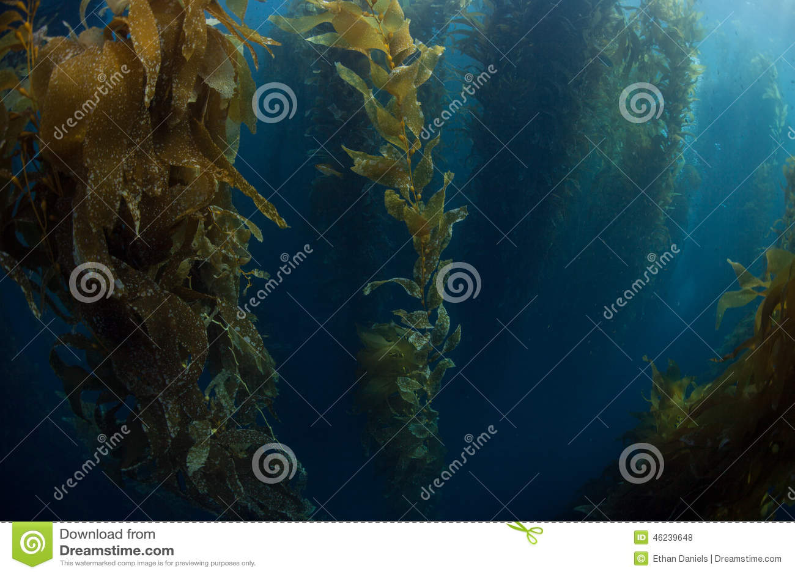 Giant Kelp Growing