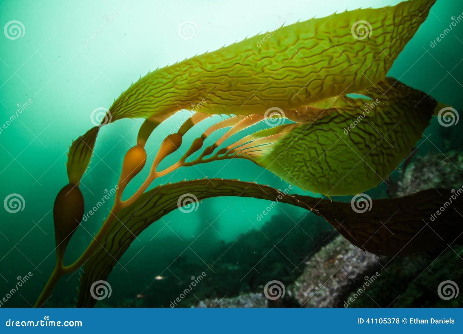 Gas Prices In California >> Giant Kelp 3 Stock Photo - Image: 41105378