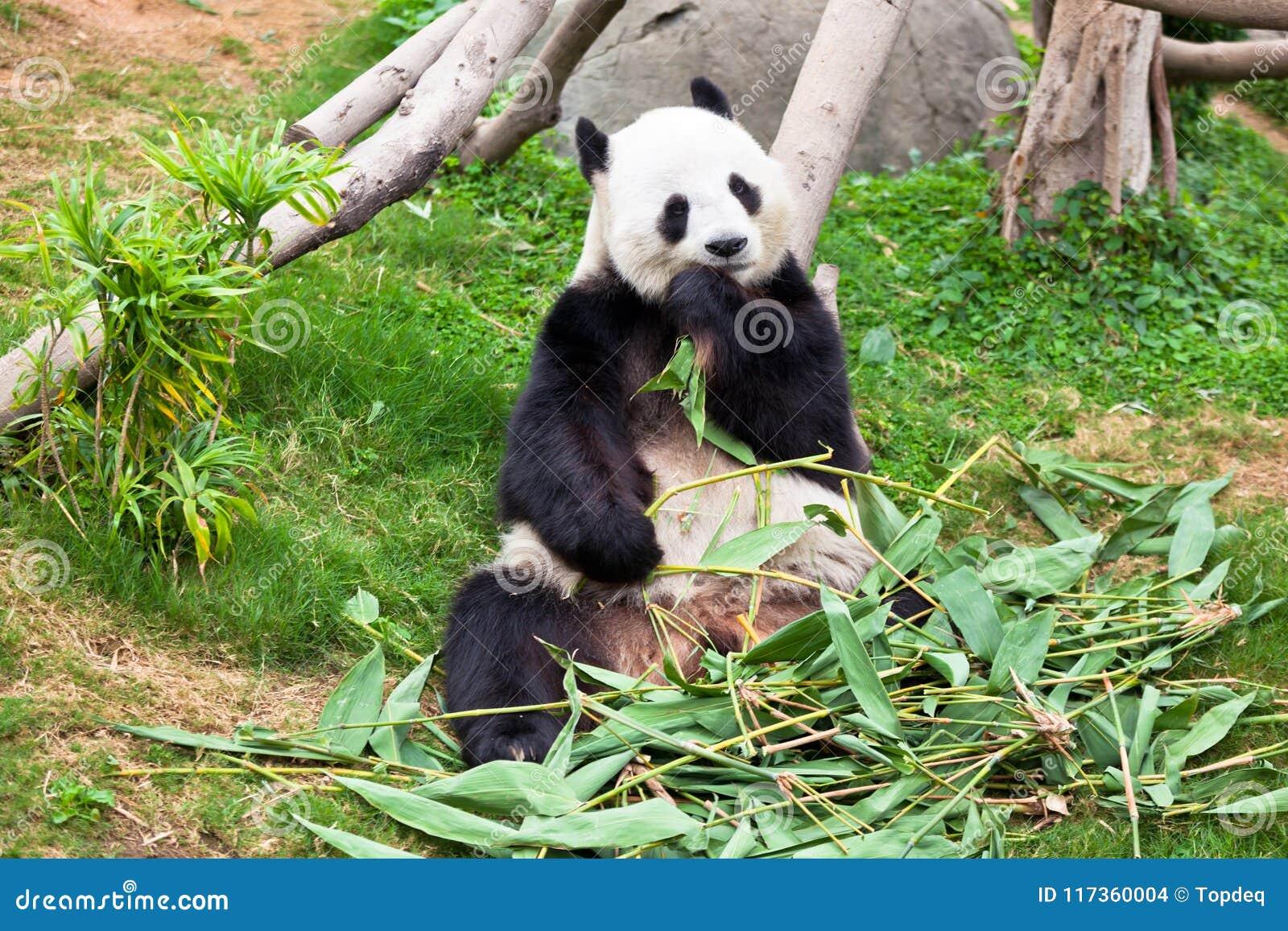 1 205 Lazy Panda Photos Free Royalty Free Stock Photos From Dreamstime