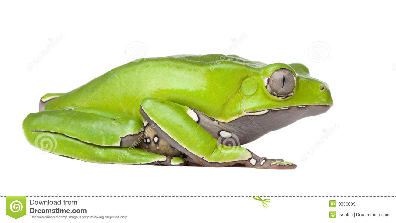 giant frog stock photos image 17726483