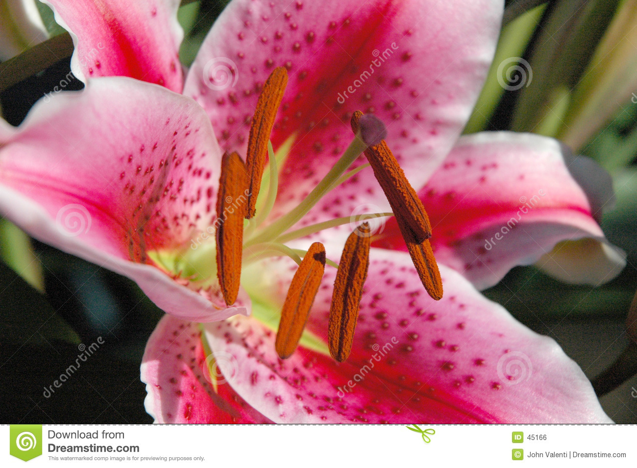 Giant Lilly Royalty Free Stock Image - Image: 45166