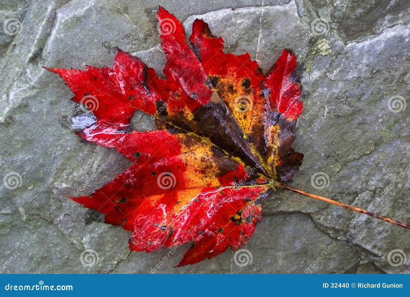 Giant Maple Leaf