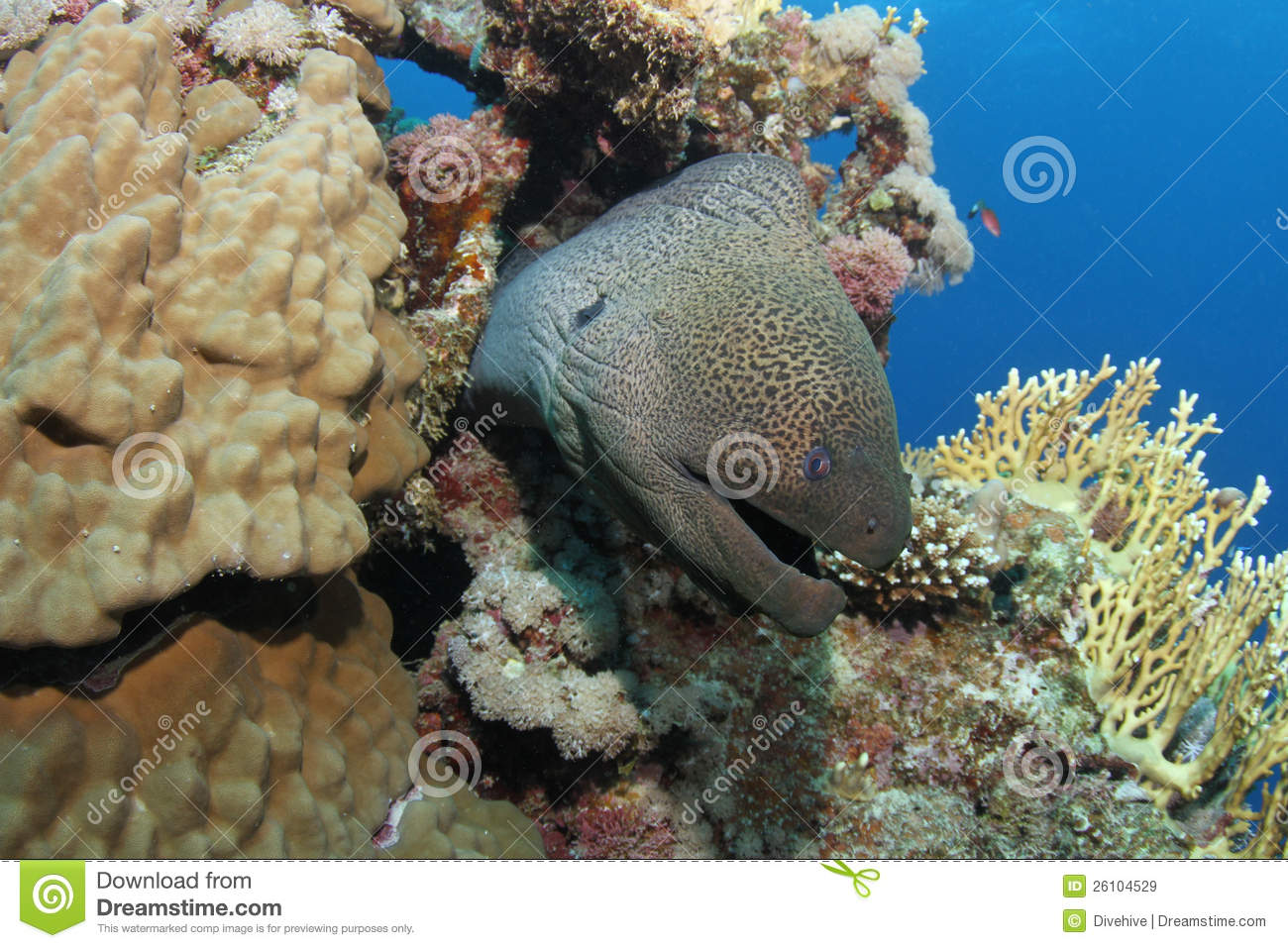 Giant moray eel hiding in tropical reef